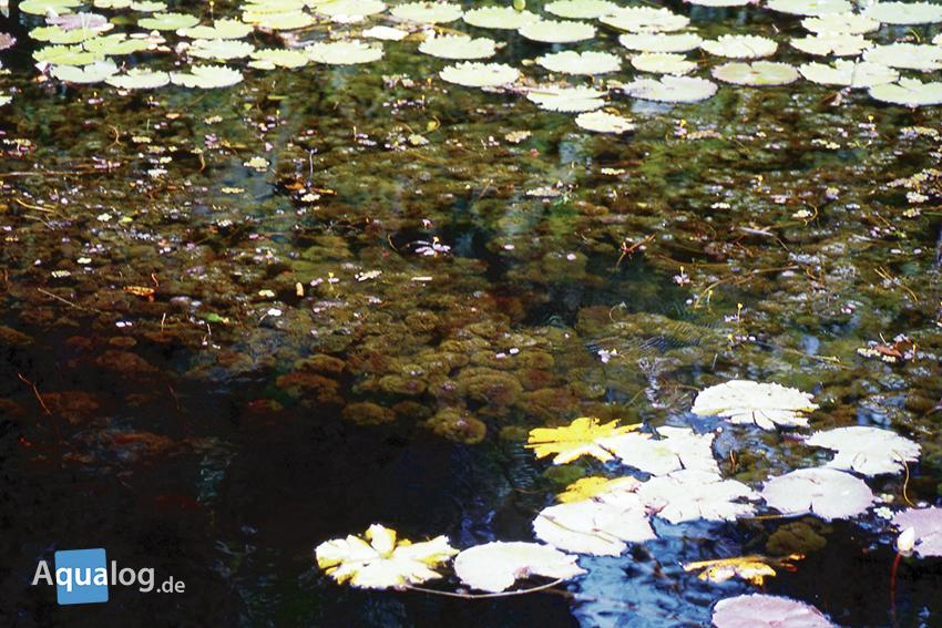 Klarwasser im Rio-Negro-Gebiet mit Cabomba aquatica und Nymphaea sp.