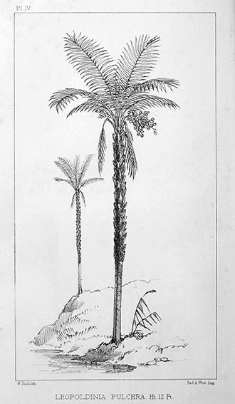 """Leopoldinia pulchra aus """"Palm trees of the Amazon and their uses"""" Alfred Russel Wallace,1853"""