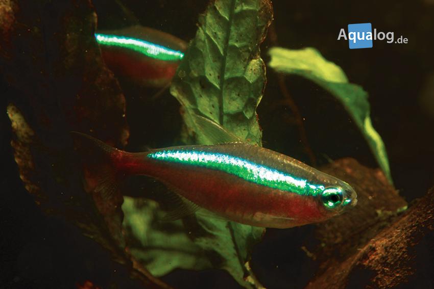 Rote Neon mögen dunkle Aquarien, leben aber nicht im Schwarzwasser.