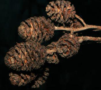 Erlenzäpfchen