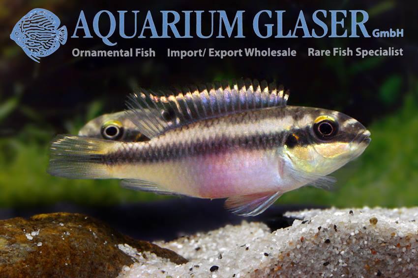 pelvicachromis1