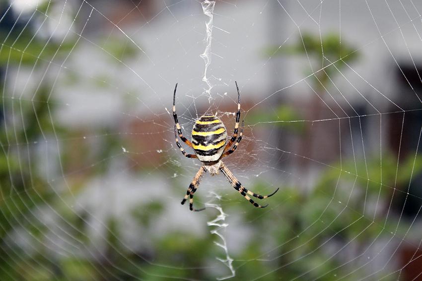 Zebra-oder Wespenspinne, Argiope bruennichi, im Netz. Gut zu erkennen: die Netzstabilimente auf 12 und 6 Uhr.