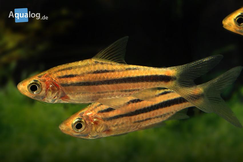 Desmopuntius johorensis spec. Thailand