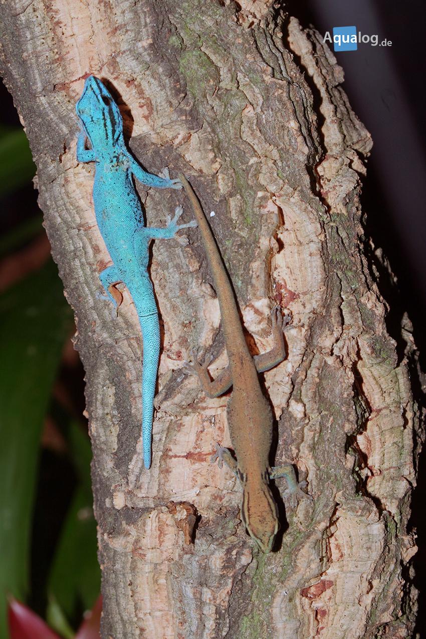 Bisher war Lygodactylus williamsi frei handelbar, in Kürze wird der Handel grundsätzlich verboten. Man muss jetzt darum schnell handeln, damit man später beweisen kann, legal erworbene Tiere zu besitzen.