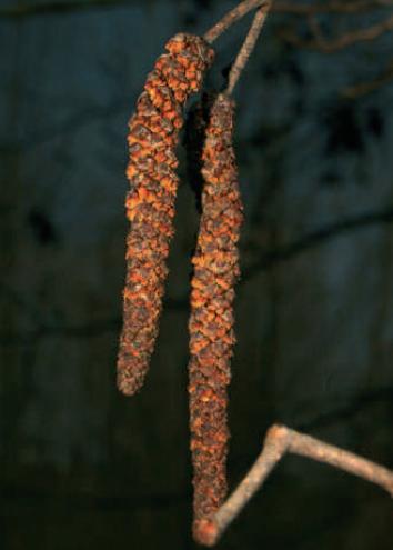 Male Common Alder flower (catkin).