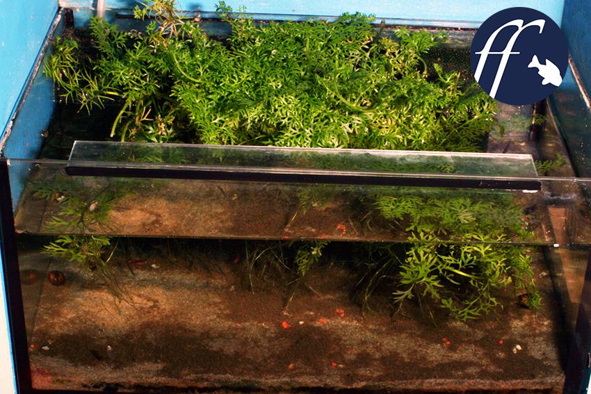 So kann ein kleines Aquarium für Boraras aussehen, mit bewachsenem Hamburger Mattenfilter. Der Wasserfarn wächst teilweise Meers und entzieht dem Wasser so Stickstoff bereits in der Form von Ammonium.