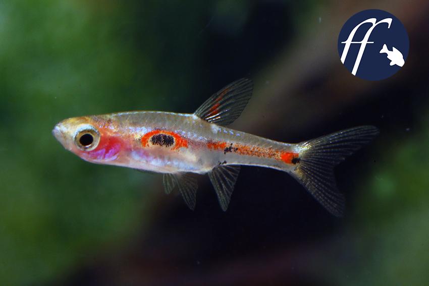 Verschiedene Aspekte, Männchen und Weibchen von Boraras merah.