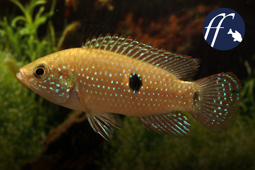 Bei diesen Fischen - es sind Wildfänge aus Nigeria (Delta State) - handelt es sich entweder um H. cristatus oder und H. guttatus.