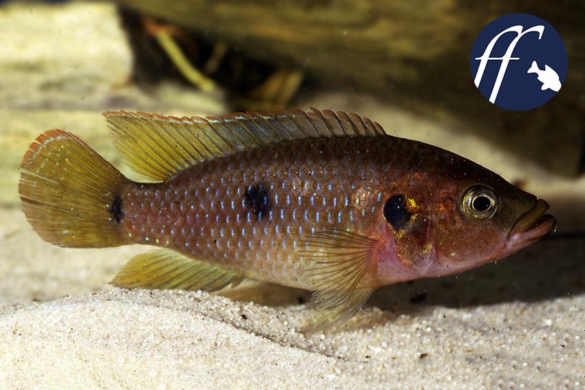 """Der """"echte"""" Hemichromis bimaculatus - dies ist ein Wildfang-Männchen aus Ghana - ist nur sehr selten im Hobby zu finden."""
