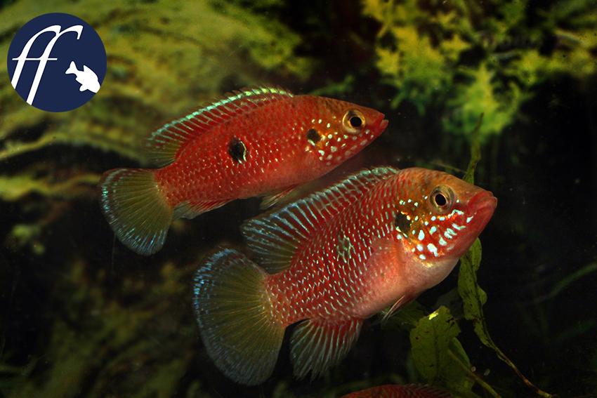 """Hemichromis sp. """"Gabun"""", eine besonders hübsche Form der Roten Hemichromis. Sie hat viel Ähnlichkeit mit Hemichromis stellifer."""