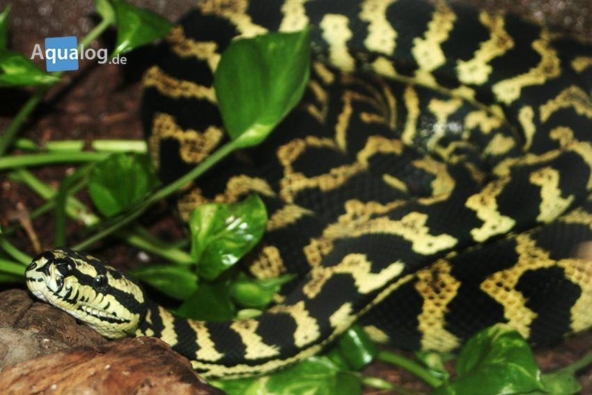 Teppichpythons können sehr attraktiv gefärbt sein.