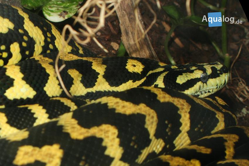 Eine weitere Ansicht des gelb-schwarzen Exemplars.