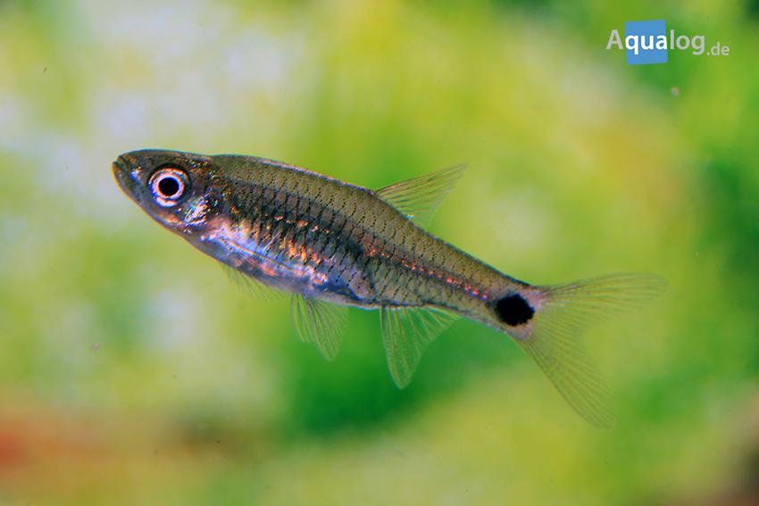 Männchen von Kottelatia brittani