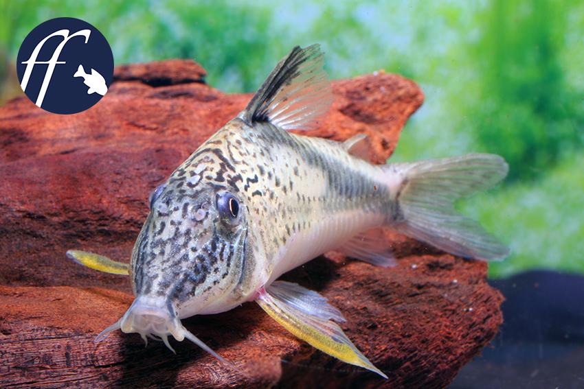 Corydoras fowleri