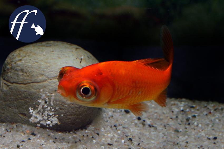 Sind drachenaugen eine qualzucht for Koi und goldfische