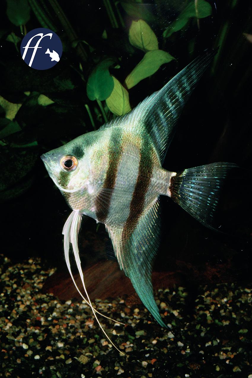 Blauer blog ber skalare und fadenfische for Fadenfische zucht