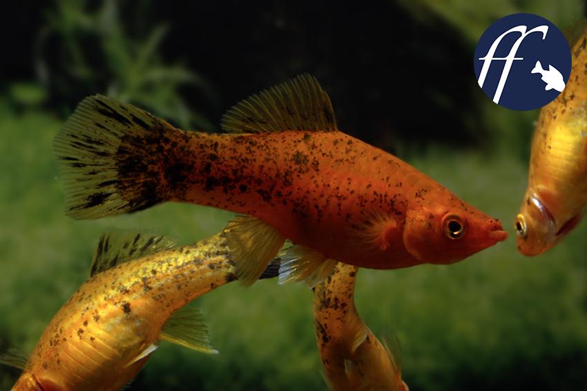White Swordtail Fish for Sale | Offering 20 varieties of Swordtail ... | 567x850