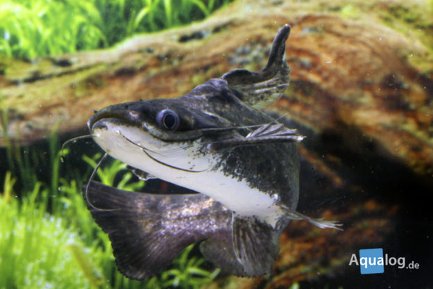 trachelyopterus fisheri der wurzelwels. Black Bedroom Furniture Sets. Home Design Ideas