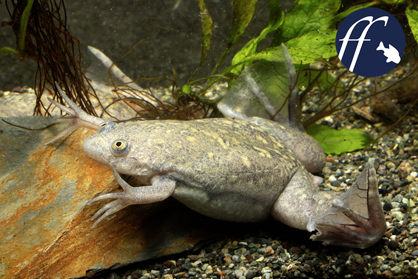 Xenopus Laevis Clawed frogs (Xenopus)...