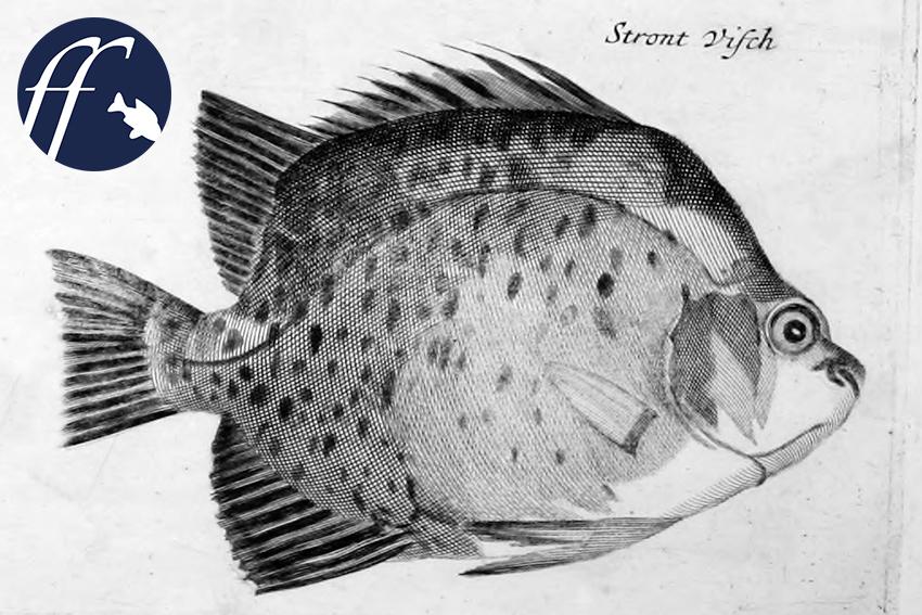 Argusfische Die Scheißefressende Fadenalgenpolizei Aqualogde