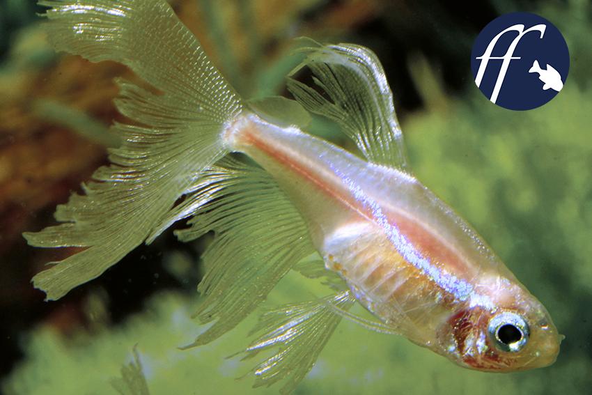 neonfische arten