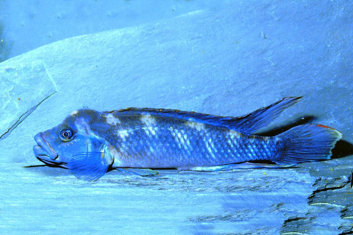 Картинки по запросу Lamprologus tumbanus