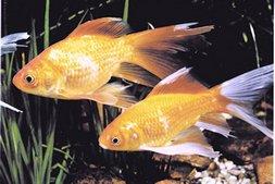 Goldfische und koi seite 10 von 10 for Koi und goldfische